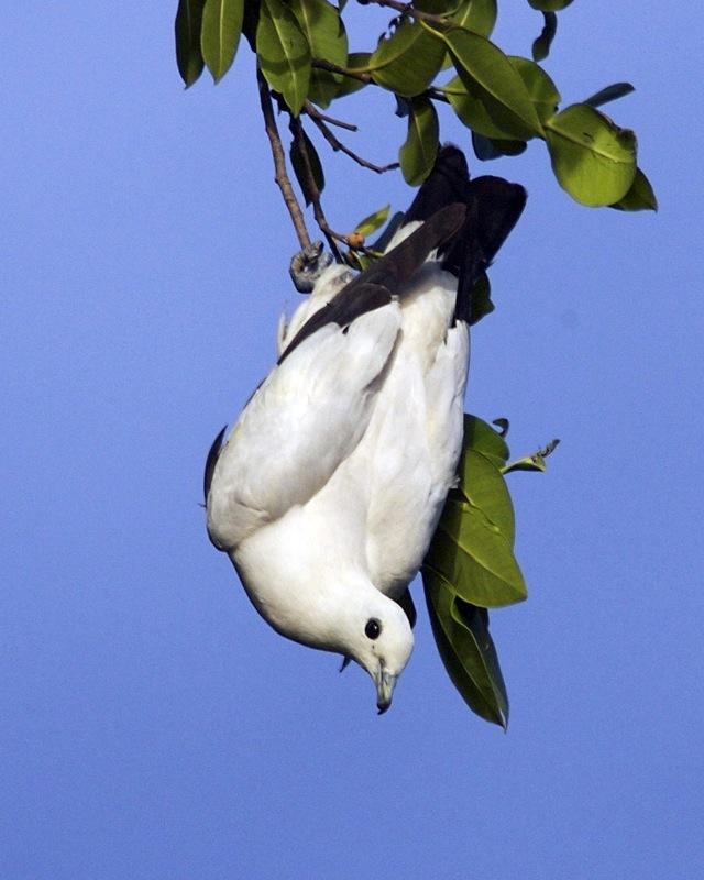 pied_imperial_pigeon2c_ducula_bicolor_bicolor