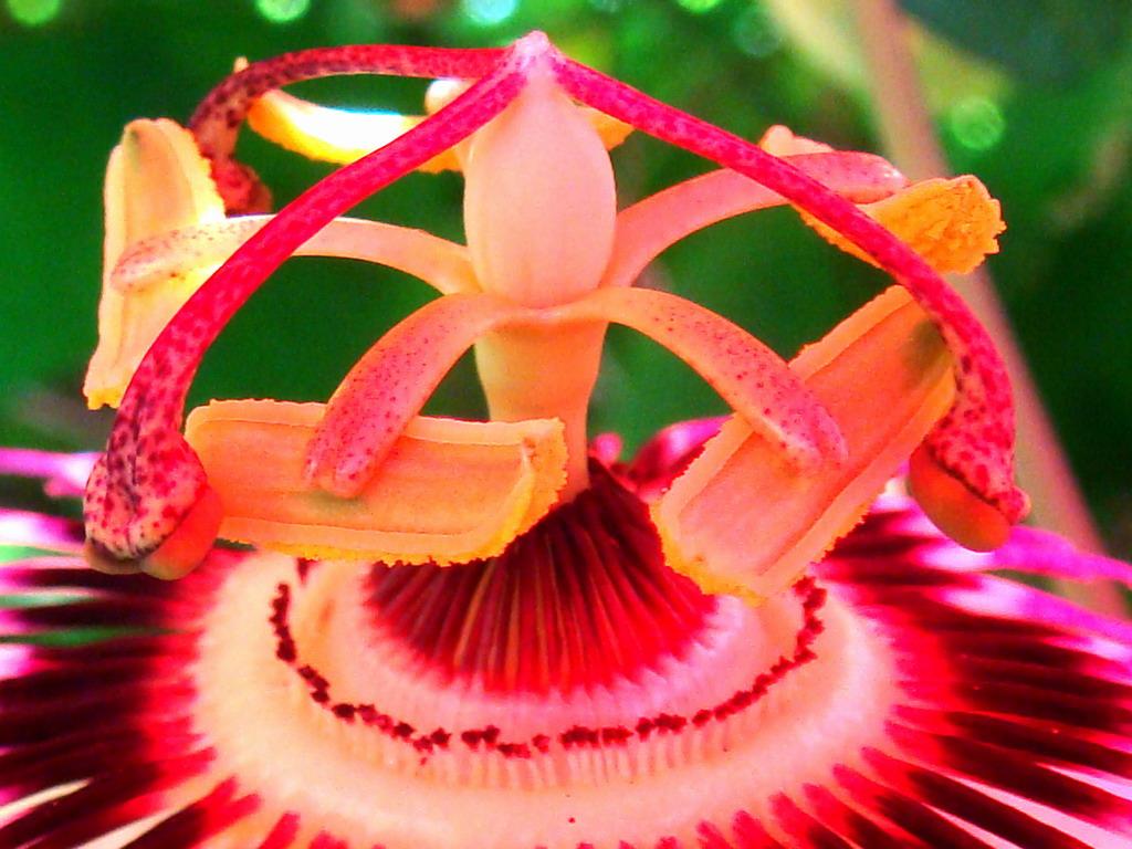 passion_flower_stamen