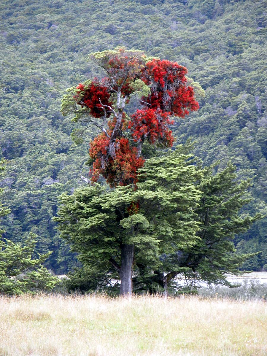 Red_mistletoe2C_Hopkins_River2C_New_Zealand