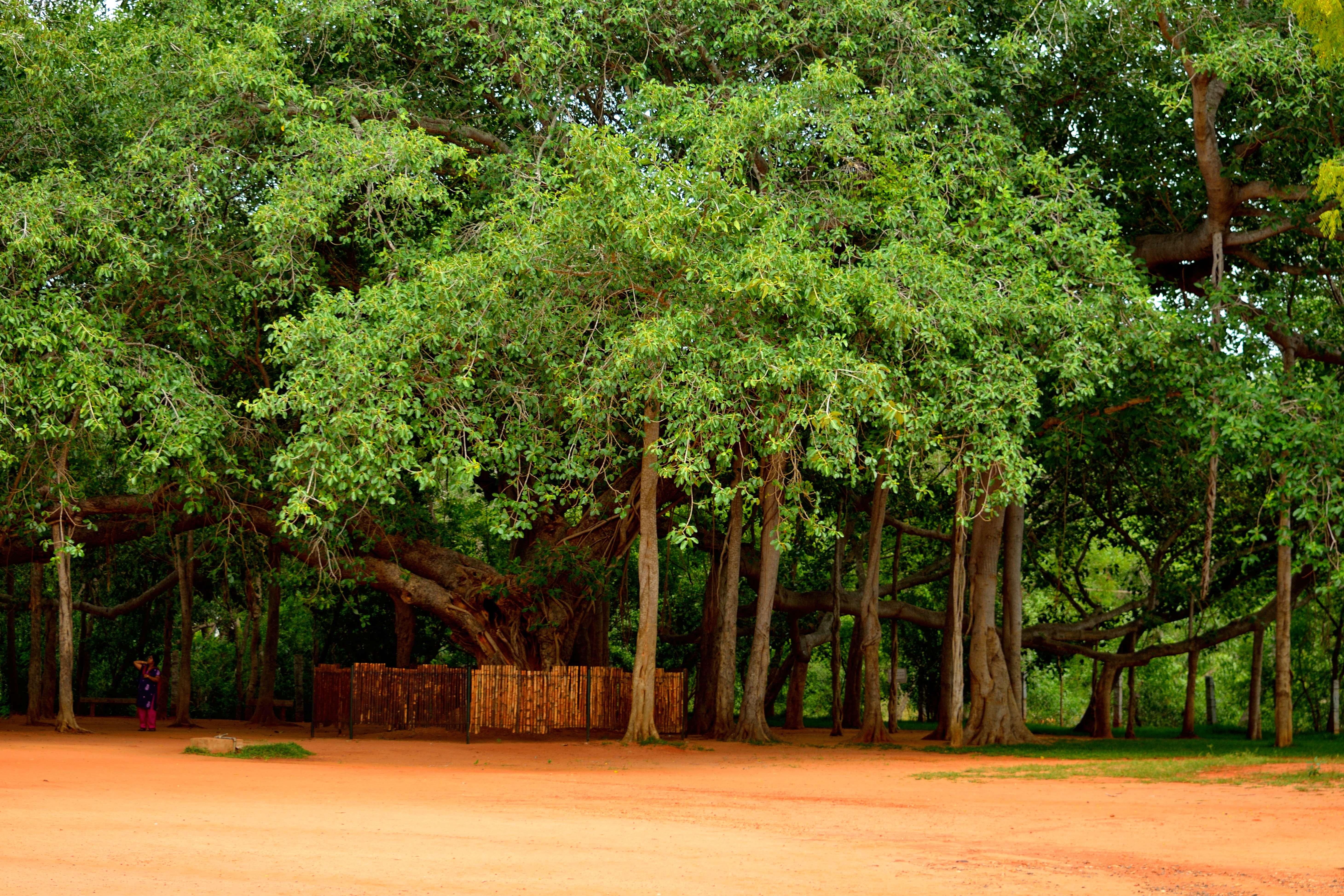 auroville_banyan_tree